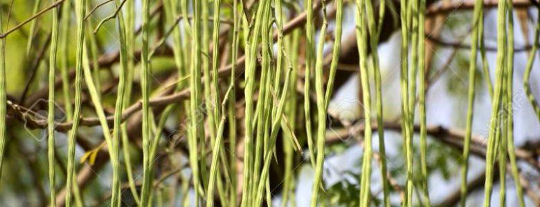 Coltivazione Moringa oleifera